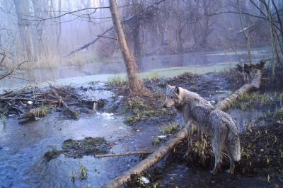 Tử địa phóng xạ Chernobyl đã thực sự hồi sinh