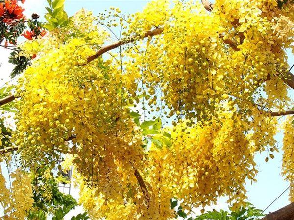 Những con đường hoa nên thơ giữa lòng Sài Gòn
