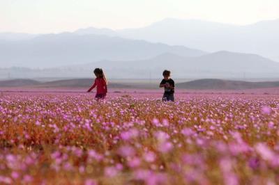 Kỳ diệu cánh đồng hoa tuyệt đẹp nở bất thường trên sa mạc khô cằn nhất Trái Đất