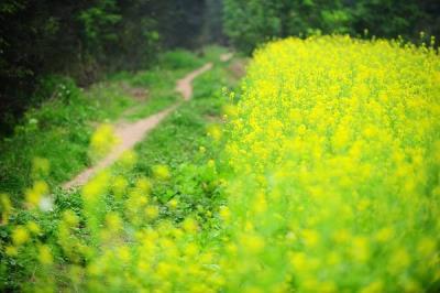 Mùa hoa cải đã nở rộ trên khắp Hà Thành.