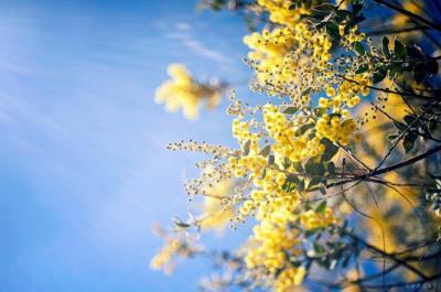 Đà Lạt mùa hoa mimosa