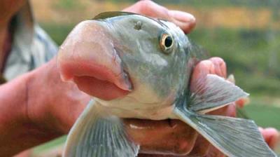 Cá anh vũ – Đệ nhất ngư Hà Giang