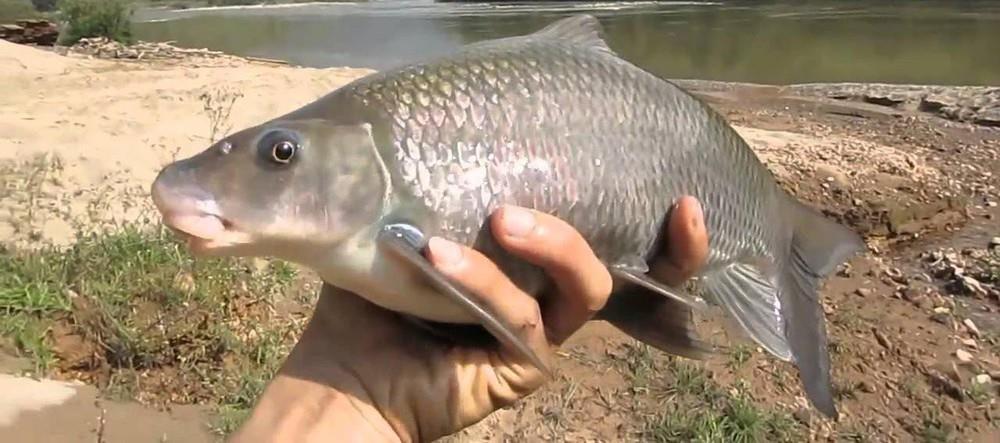 5 loài cá tiến Vua cho tín đồ sành ăn