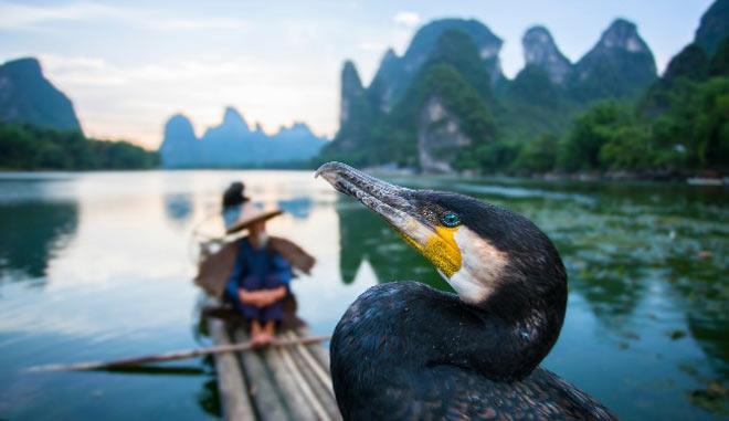 Nghệ thuật cổ xưa: Bắt cá bằng chim Cốc trên sông Lệ Giang