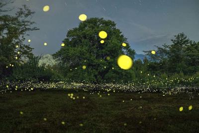 Enchanted forest beautiful fireflies in Japan