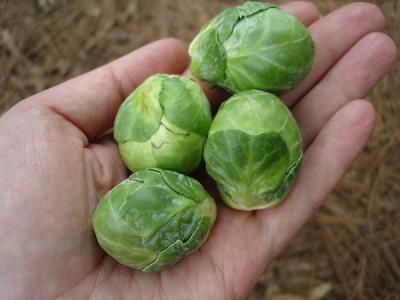 Hướng dẫn trồng bắp cải tí hon từ hạt giống