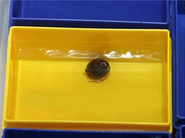 Hướng dẫn trồng sen mini 7 màu Nhật Bản