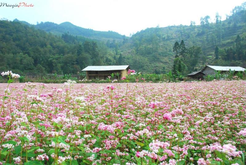 Hà Giang lần đầu tổ chức Lễ hội Hoa tam giác mạch